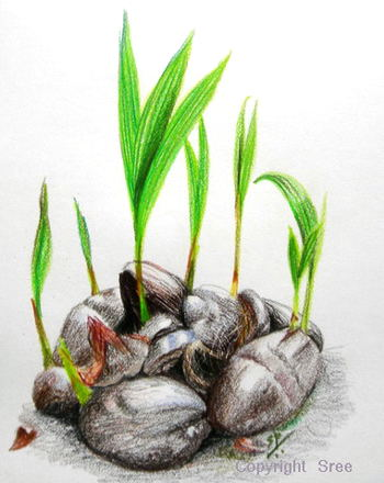 Coconut Saplings by Sree