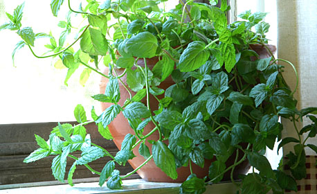 Basil at My Kitchen Window Sill