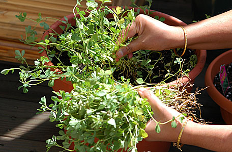 Plucking Menthi from the Planter